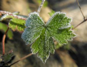 Auslaeufer Storchschnabel Blatt gruen Geranium procurrens 02