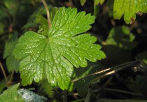 Auslaeufer Storchschnabel Blatt gruen Geranium procurrens 03