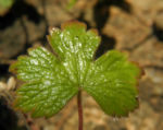 Auslaeufer Storchschnabel Blatt gruen Geranium procurrens 04