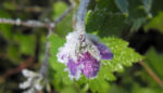 Auslaeufer Storchschnabel Bluete lila Geranium procurrens 08