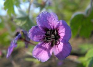 Auslaeufer Storchschnabel Bluete lila Geranium procurrens 09