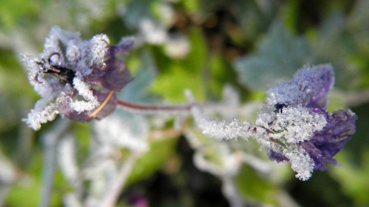 Auslaeufer Storchschnabel Bluete lila Geranium procurrens