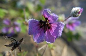 Auslaeufer Storchschnabel Bluete lila Geranium procurrens 13