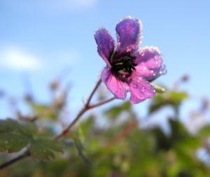 Auslaeufer Storchschnabel Bluete lila Geranium procurrens 14