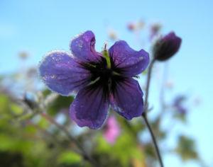 Auslaeufer Storchschnabel Bluete lila Geranium procurrens 15