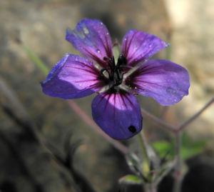 Auslaeufer Storchschnabel Bluete lila Geranium procurrens 16