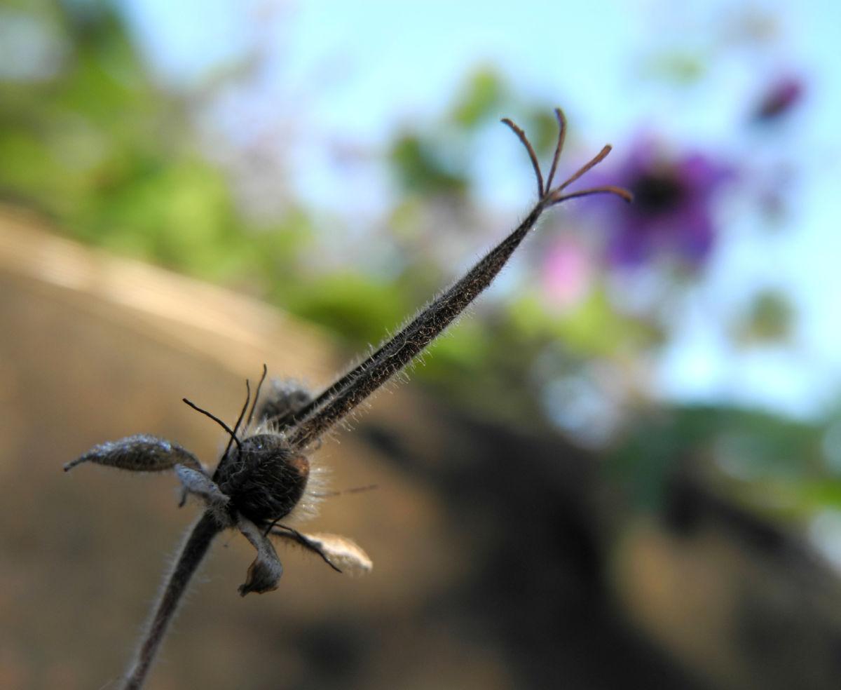 Auslaeufer Storchschnabel Kapsel braun Geranium procurrens