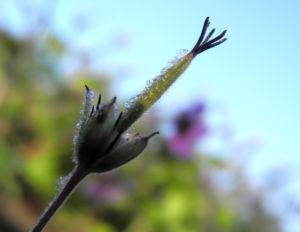 Ausläufer Storchschnabel Bluete lila Geranium procurrens