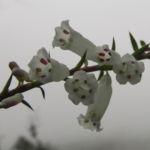 Australheide Bluete weiss Epacris impressa 04