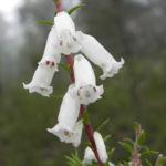 Bild: Australheide Blüte weiß Epacris impressa