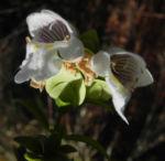 Australischer Minzstrauch Bluete weiss Prostanthera striatiflora 06