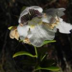 Australischer Minzstrauch Bluete weiss Prostanthera striatiflora 07