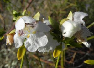Australischer Minzstrauch Bluete weiss Prostanthera striatiflora 09