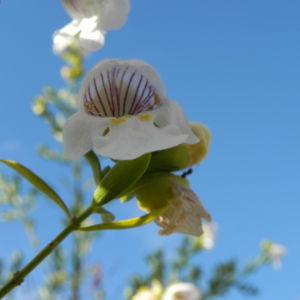 Australischer Minzstrauch Bluete weiss Prostanthera striatiflora 11