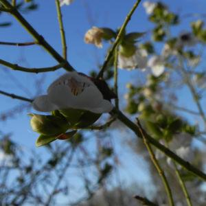 Australischer Minzstrauch Bluete weiss Prostanthera striatiflora 12