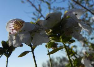 Australischer Minzstrauch Bluete weiss Prostanthera striatiflora 13
