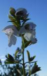 Bild: Australischer Minzstrauch Blüte weiß Prostanthera striatiflora