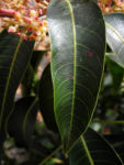 Avocado Baum Blatt gruen Persea americana 01