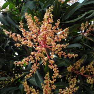 Avocado Baum Bluete gelblich Persea americana 10