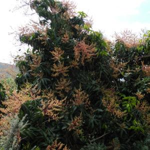 Avocado Baum Bluete gelblich Persea americana 14