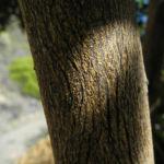 Avocado Baum Rinde grau Persea americana 01