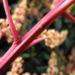 Zurück zum kompletten Bilderset Avocado Baum Blüte gelblich Persea americana