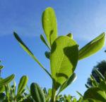 Avocado Frucht gruen braun Blatt Persea americana 01