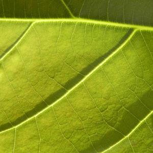 Avocado Frucht gruen braun Blatt Persea americana 03