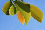 Avocado Frucht gruen braun Blatt Persea americana 06