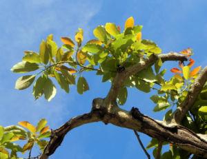 Avocado Frucht gruen braun Blatt Persea americana 07