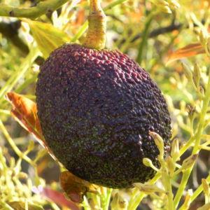 Avocado Frucht gruen braun Blatt Persea americana 09