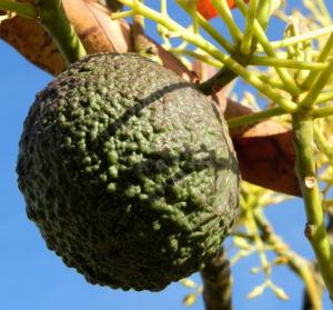 Avocado Frucht gruen braun Blatt Persea americana 10