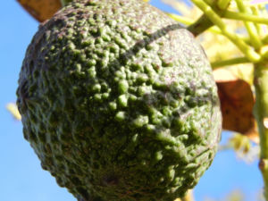 Avocado Frucht gruen braun Blatt Persea americana 11