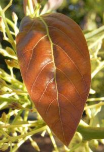 Avocado Frucht gruen braun Blatt Persea americana 14