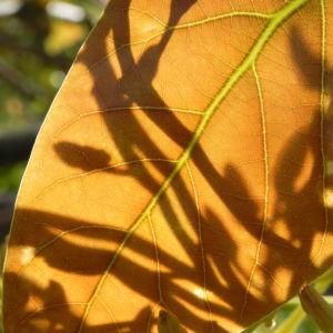 Avocado Frucht gruen braun Blatt Persea americana 16