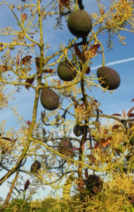 Avocado Frucht gruen braun Blatt Persea americana 24