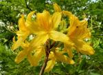 Azalee Bluete gelb Azalea mollis 05