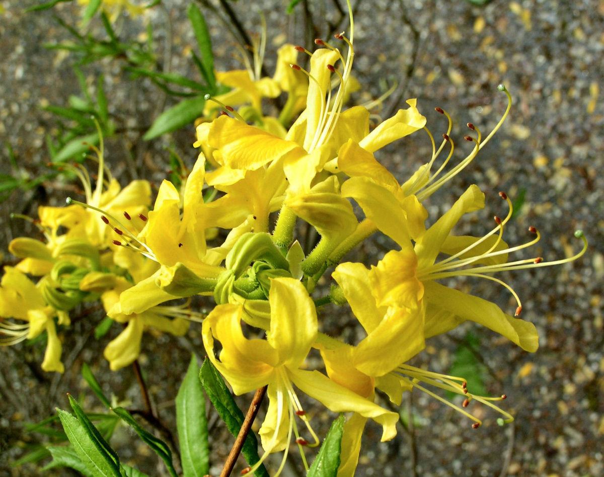 Azalee Bluete gelb Azalea mollis