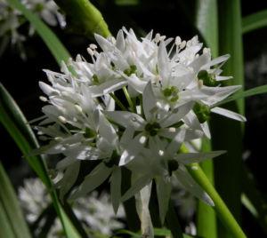 Bär Lauch Kraut Bluete weiss Allium ursinum 02