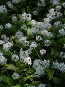 Bär Lauch Kraut Bluete weiss Allium ursinum 08