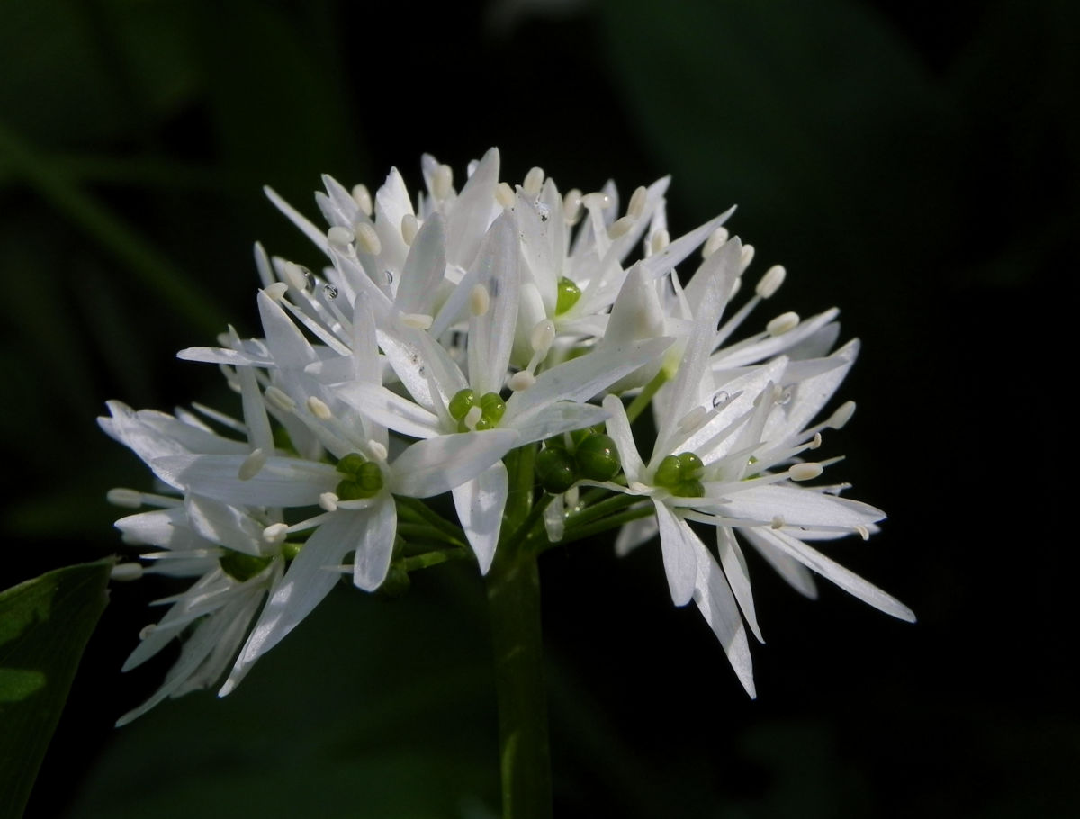 Bär Lauch Kraut Bluete weiss Allium ursinum