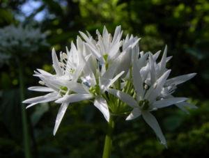 Bär Lauch Kraut Bluete weiss Allium ursinum 13
