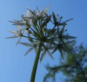 Bär Lauch Kraut Bluete weiss Allium ursinum 14