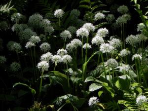 Bär Lauch Kraut Bluete weiss Allium ursinum 17