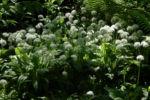 Bild:  Bär-Lauch Kraut Blüte weiß Allium ursinum