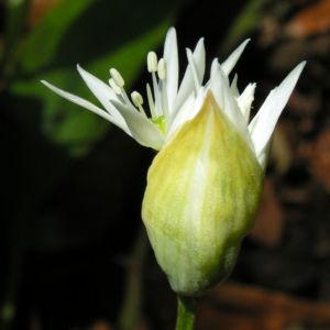 Baeren Lauch Baerlauch Bluete weiss Allium ursinum 03