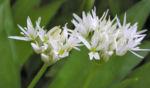 Baeren Lauch Baerlauch Bluete weiss Allium ursinum 05