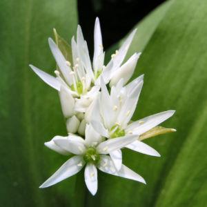 Baeren Lauch Baerlauch Bluete weiss Allium ursinum 06