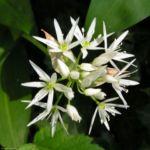 Baeren Lauch Baerlauch Bluete weiss Allium ursinum 07 1