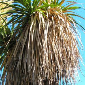 Baerengrass Bluete weiss Nolina longifolia 01
